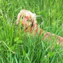 spaniel-dog-grass