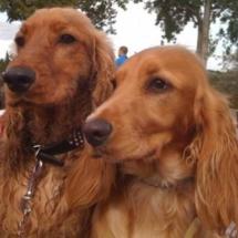 Pair of lovely spaniels